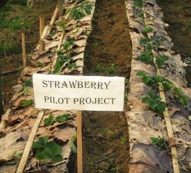 Our strawberry pilot project gets underway.